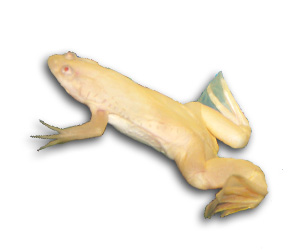 Can African Clawed Frogs Eat Fish Food