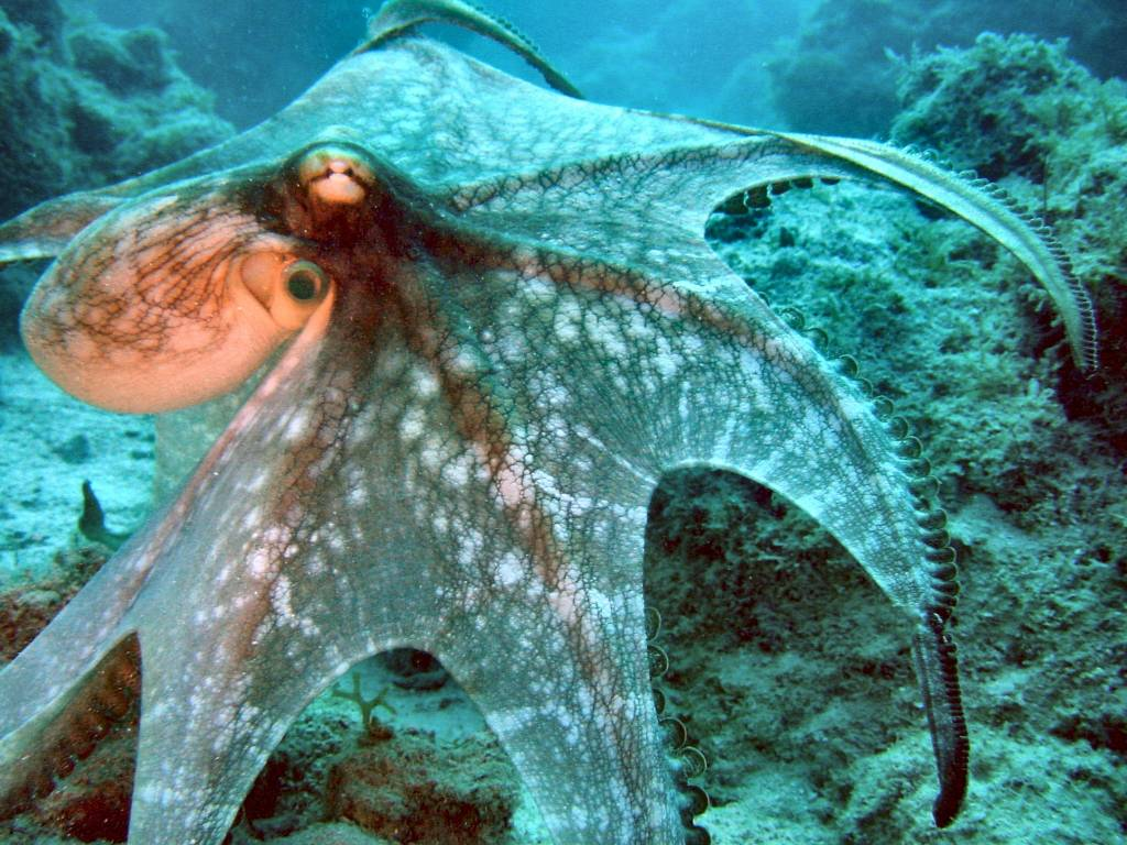 Giant Devilfish Octopus Octopus